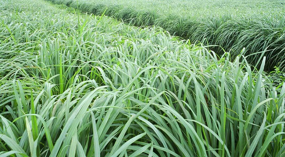 Lemon Grass Sekhmet Healing Amazing healing plant