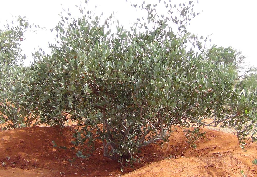 Sekhmet Healing Ancient Plant Medicine for Modern Day ailments. Jojoba plant one of natures most powerful healing plants.