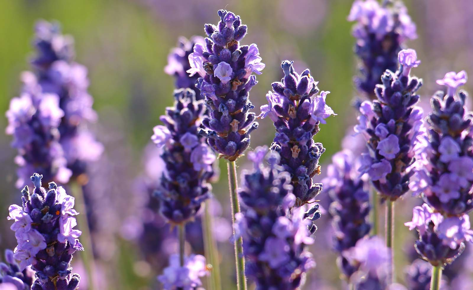 Sekhmet Healing Ancient Plant Medicine for Modern Day ailments. Lavender flowers help you sleep.