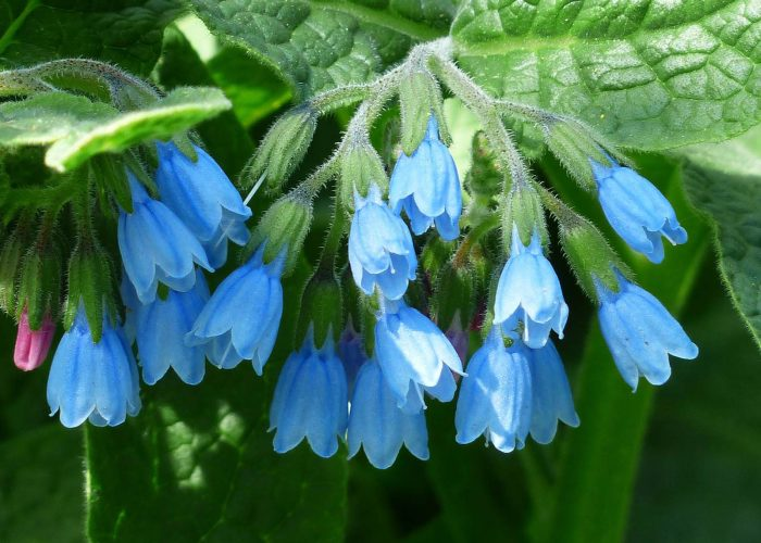 Sekhmet Healing Ancient Plant Medicine for Modern Day ailments. Comfrey plant one of natures most powerful healing plants.