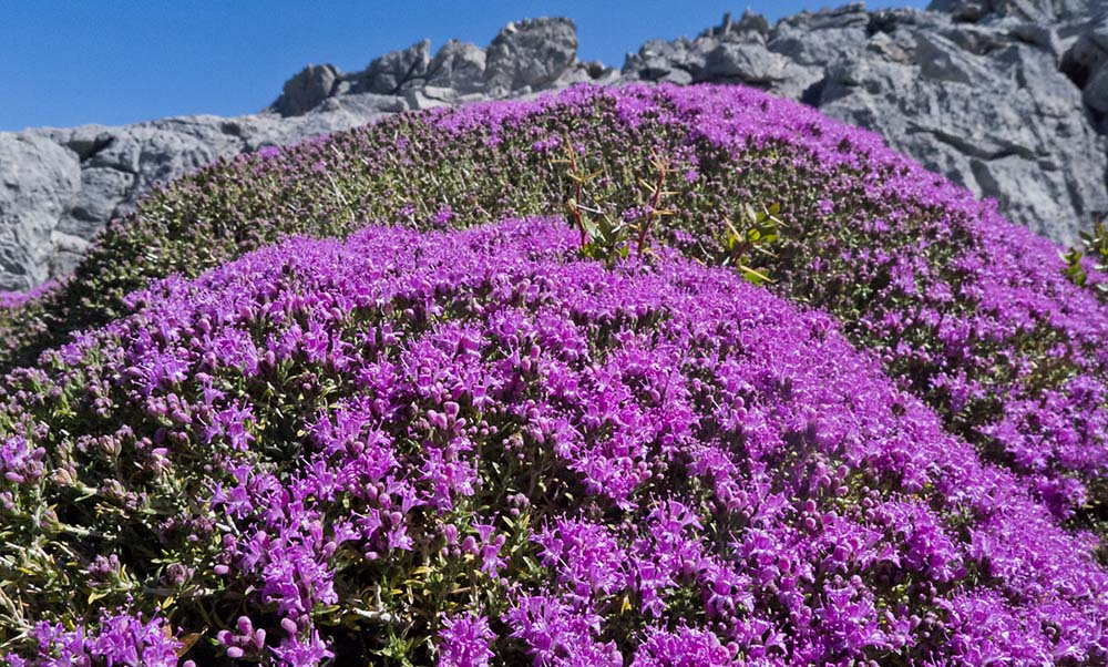 Sekhmet Healing Wild Thyme growing in the mountains of Crete.